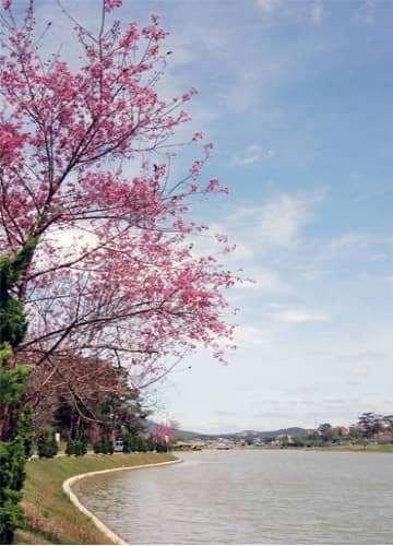 Chiêm ngưỡng sắc mai anh đào rực rỡ đón mùa xuân Đà Lạt