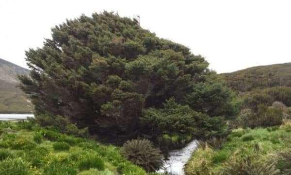 Tìm hiểu về cây thông cô đơn nhất thế giới