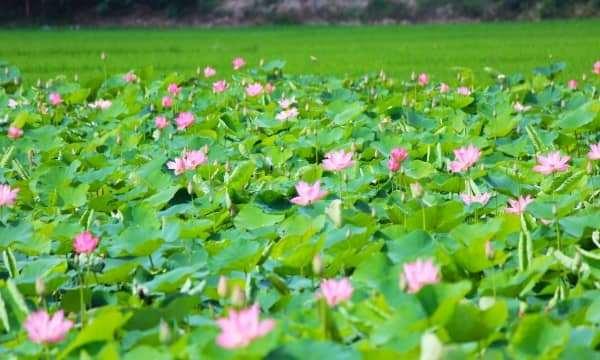 Đầm Sen hoa nở bạt ngàn - Điểm đến mới ở Nha Trang