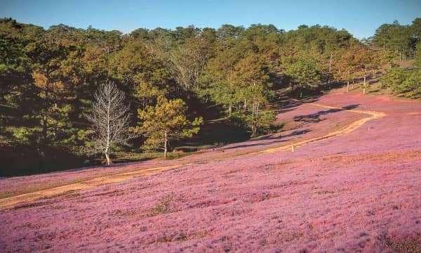 Phát sốt với mùa hội cỏ hồng 2018 ở Đà Lạt