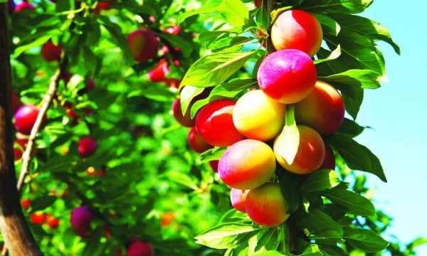 Ghé thăm vương quốc trái cây tươi của tỉnh Ibaraki.
