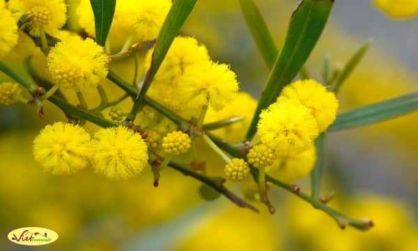 Hoa Mimosa - nàng