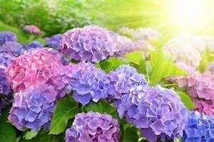 Ngẩn ngơ với những vườn hoa cẩm tú cầu đang nở rộ ở Đà Lạt.