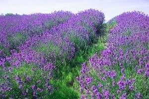 Vườn hoa oải hương lớn nhất Đà Lạt sắp nở rộ