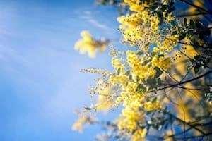 Hoa Mimosa - nàng Trinh nữ trên cao nguyên Đà Lạt